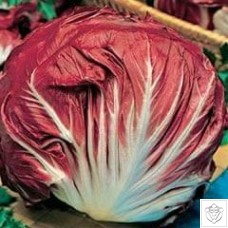 Chicory 1 packet (6000 seeds)