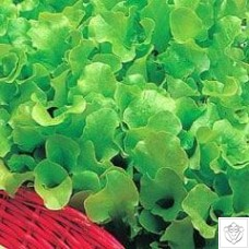 Lettuce 1 packet (7000 seeds) N/A