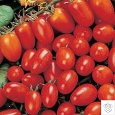 Tomato 1 packet (600 seeds)