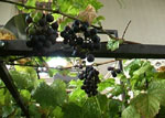 Hydroponic Grapes